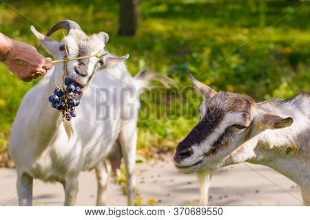 Domestic Goats In The Farm. Goat Looking At You. Goat In A Barn