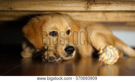 A Cute Puppy Of A Golden Retriever Laying On The Floor Under The Bed And Sofa, Selective Focus, Blur