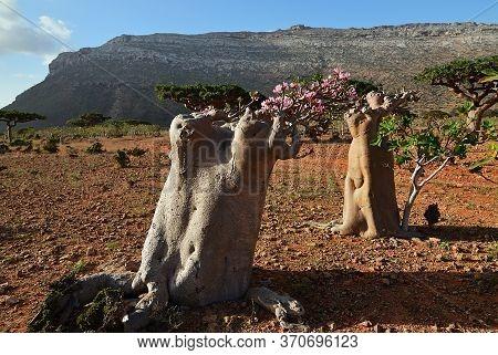 Flowering Bottle Tree, Yemen, Socotra