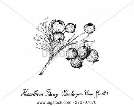 Tropical Fruit, Illustration Of Hand Drawn Sketch Hawthorn Berries Or Crataegus Fruits Isolated On W