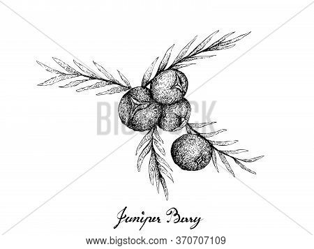 Berry Fruit, Illustration Hand Drawn Sketch Of Juniper Berries Isolated On White Background. High In