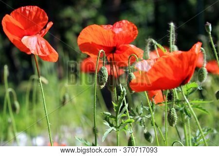 Many Beautiful Red Flowers, Poppies On A Beautiful Green Background. Other Names Are Papaver Rhoeas,