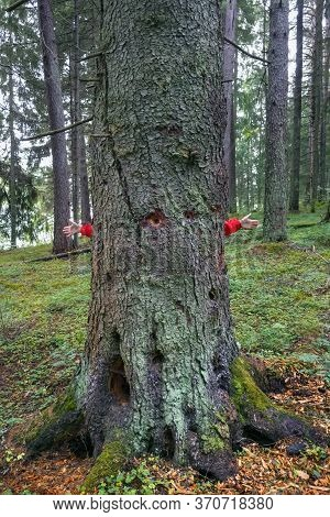 In Pine Forest. In The Foreground-the Trunk Of A Huge Pine Tree, You Can See The Hollows Made By Woo
