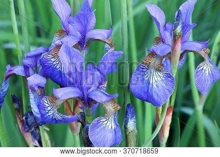 Flowers Of Iris Japonica. Green Leaves Of Iris Japonica In Spring. Blue Flowers Of Iris In Summer Ti
