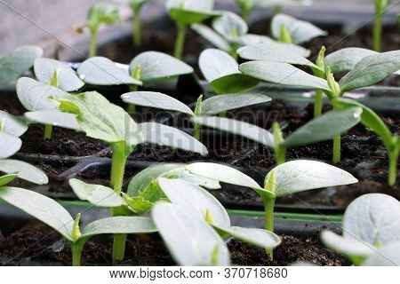 Young Plants Of Cucumbers. Cucumbers Seedlings In A Pot. Gardening. Growing Cucumber. Young Sprout.