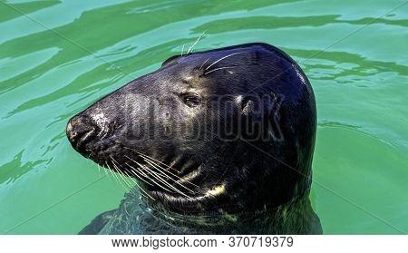 Antarctic Fur Seal (arctocephalus Gazella) - Hel, Pomerania, Poland