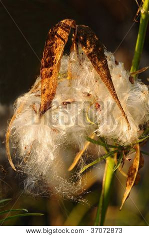 Closeup of a seed pod with morning side light. A small red bug, S. aegyptius, can be seen amongst the fibers.