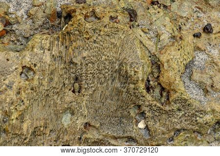 Fossilized Sea Animal On Coast Of Indian Ocean, Bali, Indonesia. Structure Of Sea Coral Fossil Of Ye