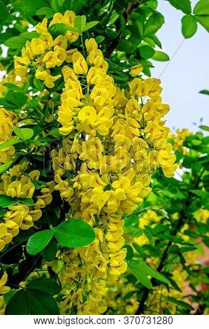 Laburnum Anagyroides Yellow Flowers. Blossoming Yellow Acacia With Leaves On Green Background. Acaci