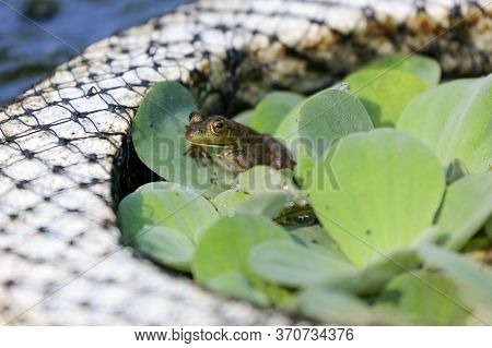 Small Green Frog In An Outdoor Fountain Sitting On A Lily Pad