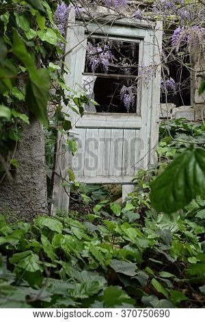 Old Wooden Door In Overgrown Garden Obscured By Green Ivy Leaves And Lilac Plant Flowers.