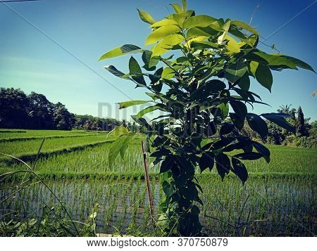 Expanse Of Green Rice Fields And Beautiful Blue Sky
