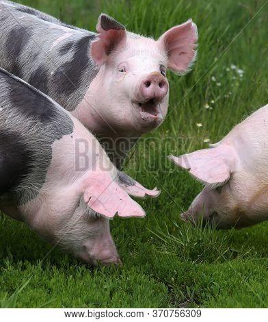 Household Domestic Pigs Lives On Animal Husbandry Farm. Organic Livestock Breeding Is Branch Of Anim