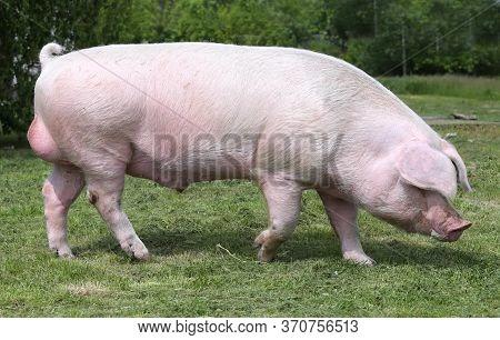 Household Domestic Pig Lives On Animal Husbandry Farm. Organic Livestock Breeding Is Branch Of Anima