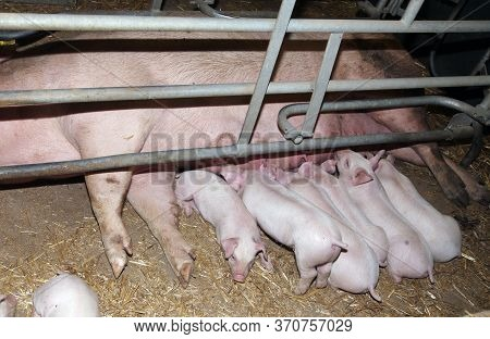 Newborn Piglets Suckling Big Industrial Pig Farm. Pigs Living On Organic Bio Farm Behind Steel Bars