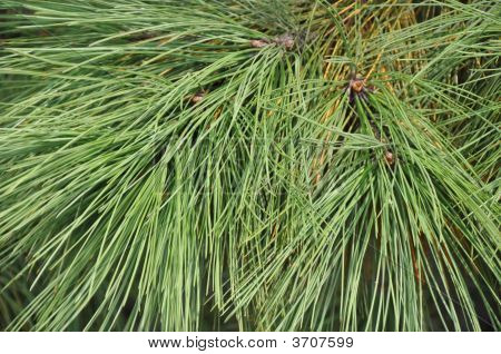 Pine Tree Needle Bough Closeup Texture
