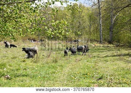Herd Of Sheep In A Green Pastureland In Spring Season
