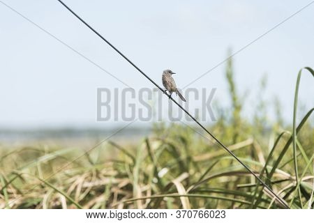 Sooty Tyrannulet, Serpophaga Nigricans, Perched On A Wire Next To The Camino Del Indio Bird Lookout,