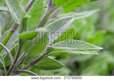 Medicinal Herbs. Unconventional Medicine. Leaves Of Medicinal Sage