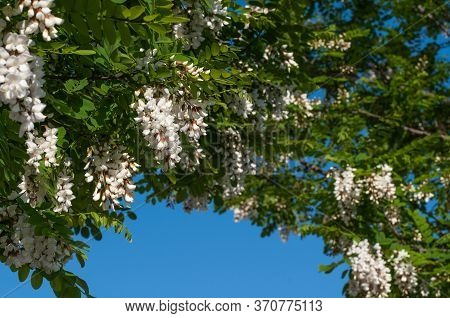 Compound Leaves And Hanging Flowers Of A Black Locust Tree Framing Clear Blue Sky