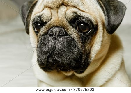 A Close-up Portrait Of A Beige Pug Dog With Sad Eyes. Beautiful, Purebred Pug. The Concept Of A Cozy