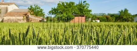Green Wheat Field And Sunny Day At Agricultural Farm