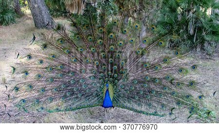 Beautiful Bird Peacock In Natural Park. Colorful Peacock's Tail. Wild Fauna In Nature Concept.