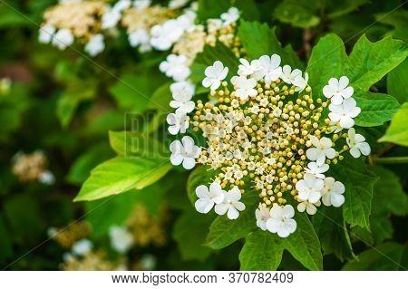 Viburnum Vulgaris Blooms In Early Summer On Branch Of Green Shrub