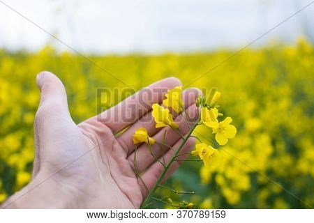 Farmer Hands In Oilseed Rapeseed Field Examining And Controlling The Growth Of Plants