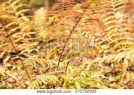 Yellow Fern Leaves In The Forest In Late Autumn