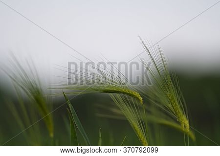 Rye Field In The Summertime, Rye Has Ability To Ripen Over The Short Summer