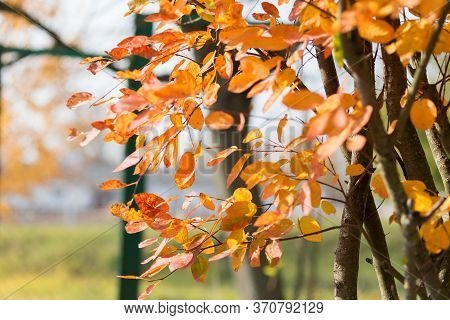 Branches Of Three With Yellow Autumn Leaves In The Forest.