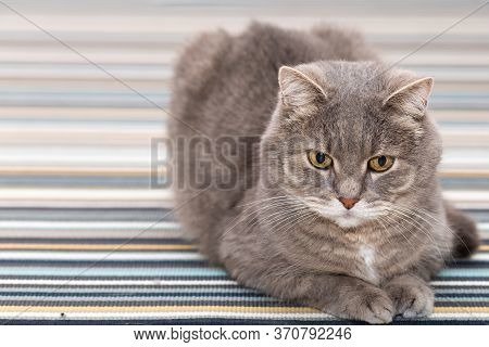 The Gray Cat Rests Quietly On The Striped Carpet