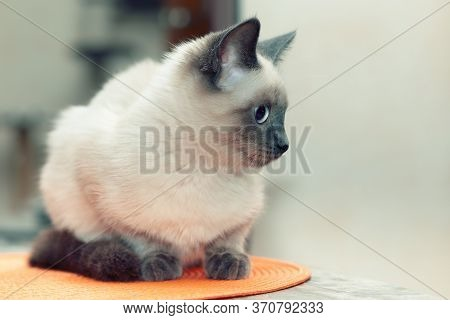 Portrait Of A Thai Kitten On A Light Background, Free Space On The Right.