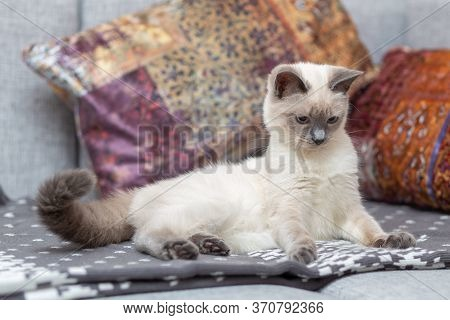 A Thai Cat Lies On The Sofa Among The Pillows.