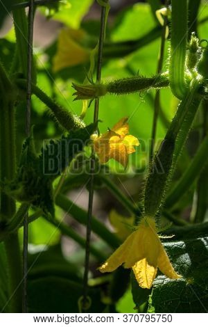 Yellow Cucumber Inflorescences Close-up. Growing Cucumbers In A Greenhouse. Seasonal Vitamin Vegetab