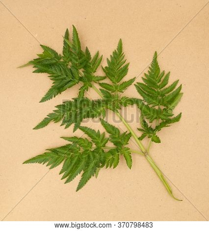Anthriscus Caucalis Aka Bur-chervil Plant Leave On Natural Brown Craft Paper Background. For Biology