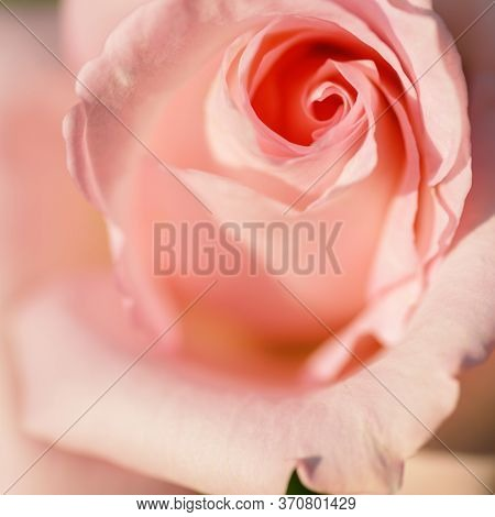 Coral Rose. Flower Coral Color With Gentle Petals. Soft Coral Rose With Layers Of Delicate Petals Cl