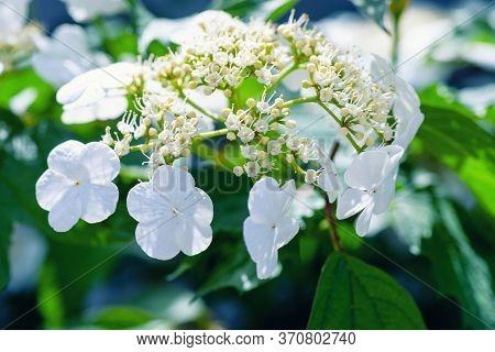 Blooming Viburnum Spring Sunny Day. Viburnum Flower Bloomed In The Garden. Viburnum Close-up.