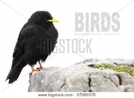 The Alpine Chough or Yellow-billed Chough (Pyrrhocorax graculus) with space for your text.