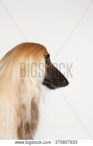 Photo of Afghan hound close-up profile