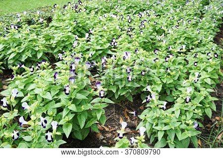 Blue Torenia Fournieri Flower In Nature Garden