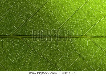 Close Up Texture Of Green Leaf Veins. Fresh Green Leaf Texture Macro Close-up.