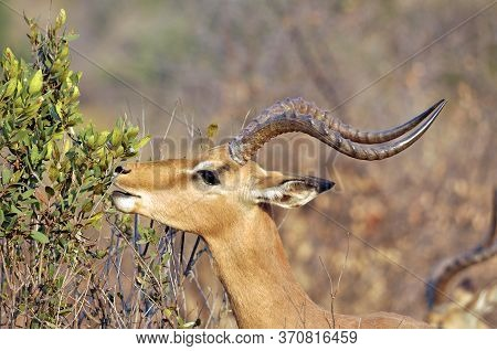 Impala Male Nibbling Some Green Leaves On A Bush