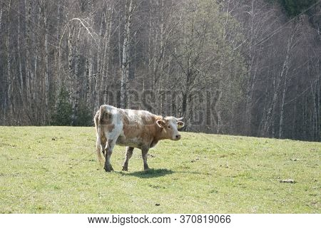 Cow On A Spring Meadow