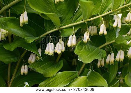 Polygonatum Biflorum Prince Charming. Garden Plant Prince Charming.