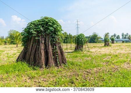 Tapioca Fields. Grow Cassava. Preparing For Cassava Field Planting. Bunches Of Breeding Sapling Of C
