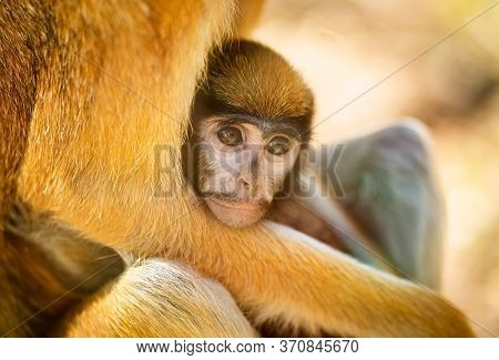 Hussar. Shooting Through Glass. The Red Monkey With Baby In The Zoo Aviary. Wild Animals In Captivit