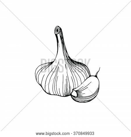 Garlic Isolated On A White Background. Garlic Head And Clove. Strengthening The Immune System. Hand-