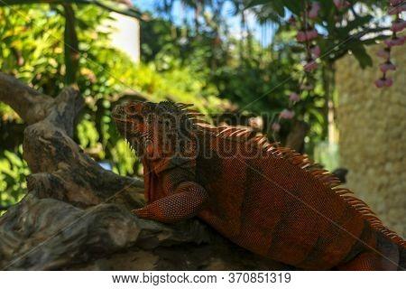 Side View Of Red Iguanas Head. Red Iguana Climbing Up Tree. Macro Photo Of Large Iguana Iguana. Port